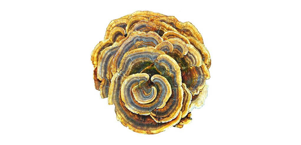 Turkey Mushroom